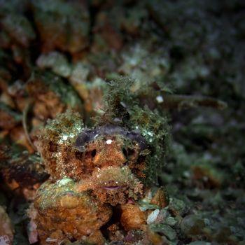 A 7-8 cm juvenile bearded scorpionfish hiding at Bida Nok divesite on Phi Phi, Thailand