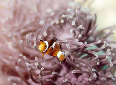 Clown anemonefish at Bida Nok divesite on Phi Phi, Thailand