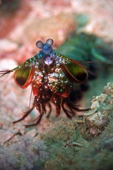 Peacock mantis shrimp at Palong divesite on Phi Phi, Thailand