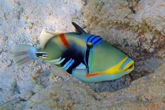 Picasso triggerfish shot at the Maldives