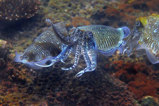 Cuttlefish at Palong divesite, Phi Phi, Thailand