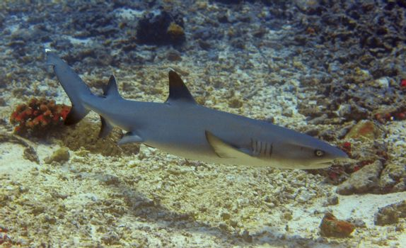 Whitetip reef shark at Sipadan, Borneo, Malaysia
