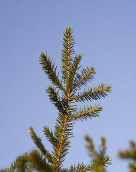 Closeup on a spruce