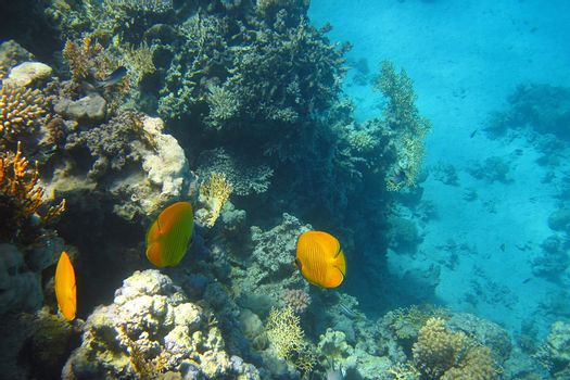 beautiful yellow fish in the coral reef in the Red Sea