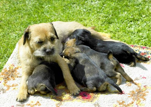 female dog with puppies (Border Terrier)