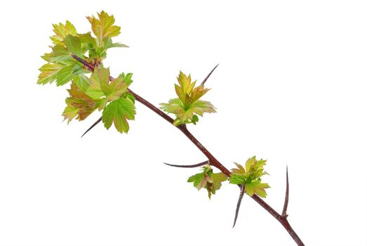 Young branch hawthorn