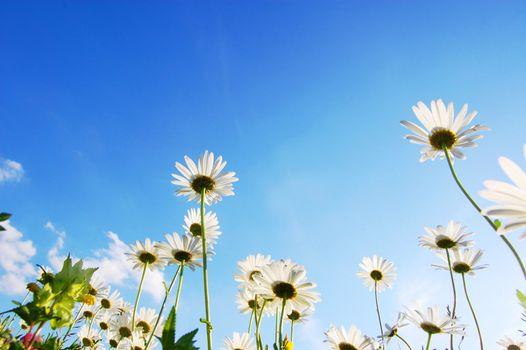 daisy flowers from below under blue sky in summer