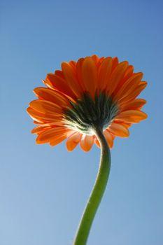 gerbera daisy from below under blue sky in summer