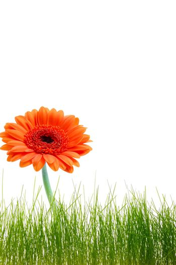 isolated flower background with grass and copyspace for your text