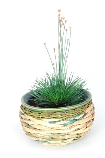 Potted plant isolated on a white backround.
