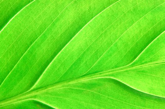 texture or structure of a green leaf