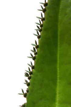 Green succulent leaf of medical plant kalanchoe