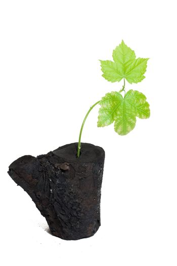 Fresh delicate leaves germinated on burnt tree
