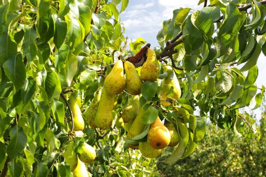 pear trees laden with fruit in an orchard in the sun