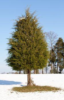 Single conifer in the snow