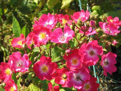 Pink Rambler Roses
