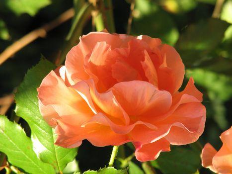 orange-yellow Rose