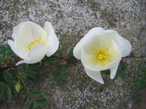 two white roses on rock