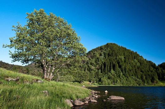 Tree by the lake in Norwegian landscape at summer