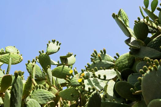 Prickly pear cactus bush flowering yellow with green fruits, thorns and buds on the blue sky background