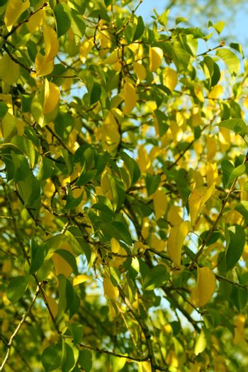 Leaves of a pear of yellow and green color in the autumn