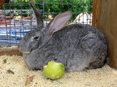 Large gray rabbit sits with the apple in cage