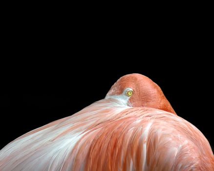 Pink flamingo peeking out from under a tucked wing, isolated on black.