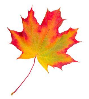 close-up autumn maple leaf, isolated on white