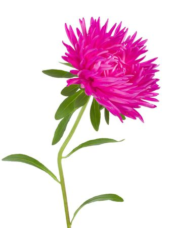 close-up pink aster flower, isolated on white