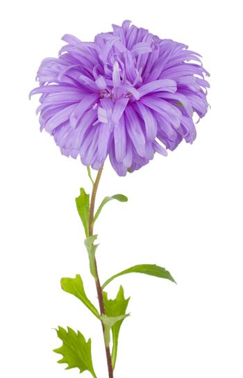close-up violet aster flower, isolated on white
