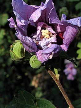 Shriveled Rose of Sharon