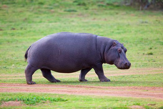 Hippo walking