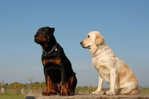 two puppies: purebred golden retriever and purebred rottweiler