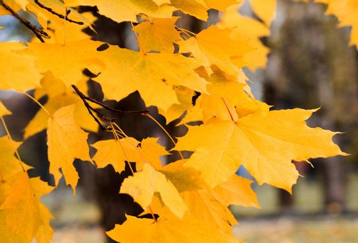 Autumn. Yellow leaves of a maple in city park
