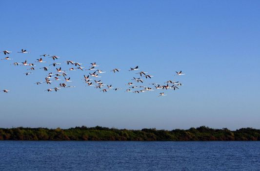 "View of a large group of pink flamingos on the natural park of ""Ria Formosa"" located on Portugal."