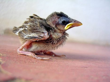 Side profile of a young sparrow chick on a red ground.