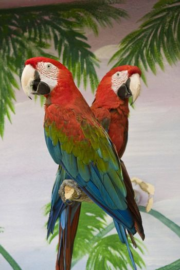 View of two scarlet macaws on a pole on a show.