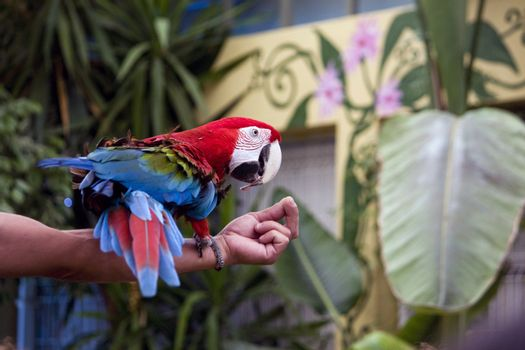 View of a scarlet macaw in a performance show on top of the trainer's arm.