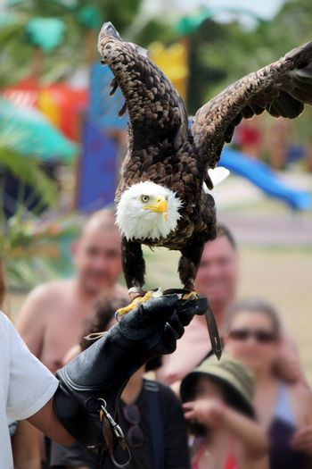 View of an American bald eagle taking flight from the glove of the trainer.