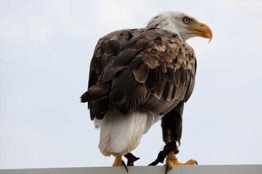 View of an American bald eagle bird of prey on top of a house.