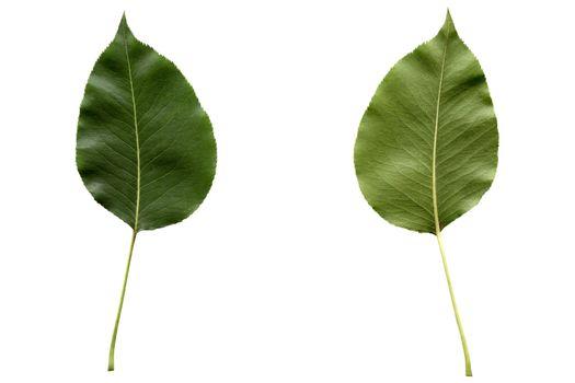 Pear leaf