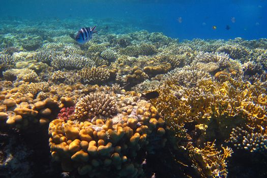 coral reef in egypt red sea for dive