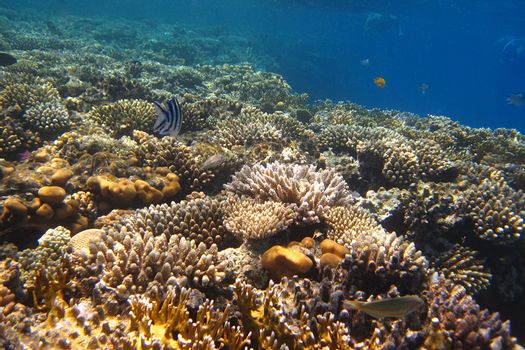 beautiful colorful coral and many in the red sea egypt