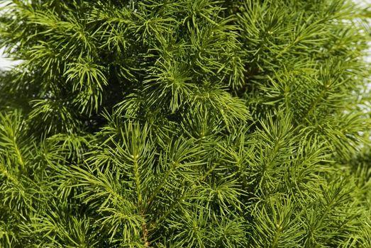Fresh spruce branch