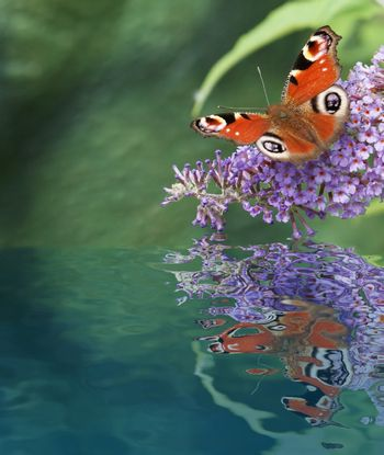 Butterfly in water reflection