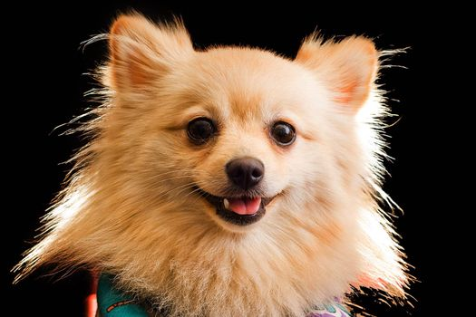 A studio image of a small furry dog against a black background.
