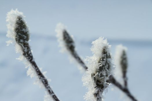 Frost Covered Plant