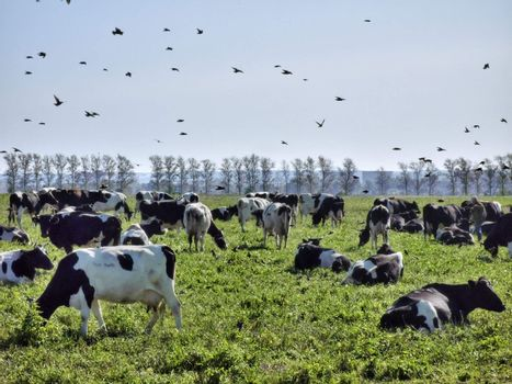 Cows and birds on a green rural pasture
