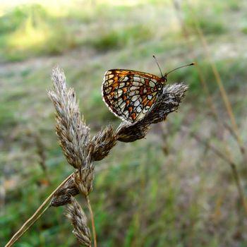 small pearl-bordered butterfly - clossiana selene