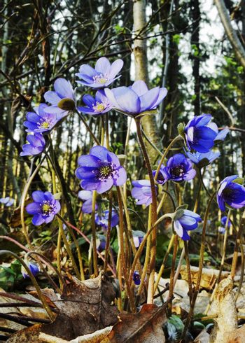 The first spring flowers - hepatica nobilis